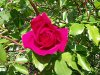 une rose d espoir