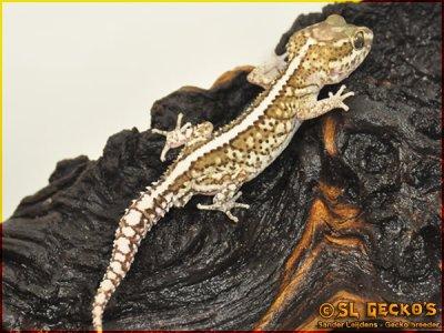 Paroedura Pictus: Phases: Stripe (partial banded)