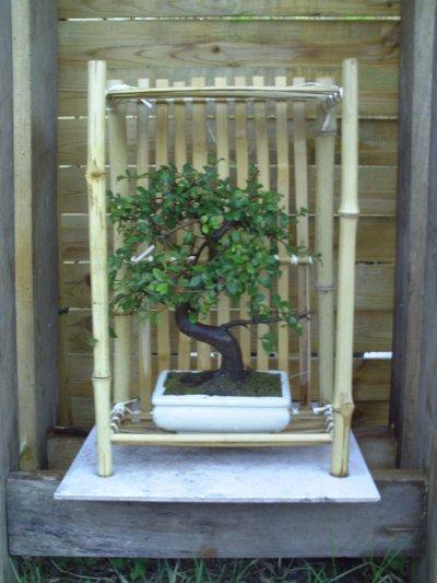 mon premier bonsai