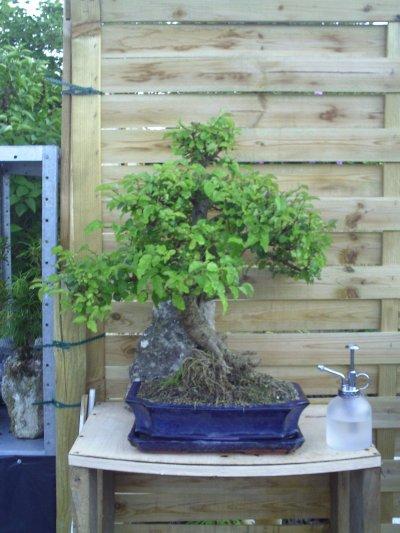 mon bonsai