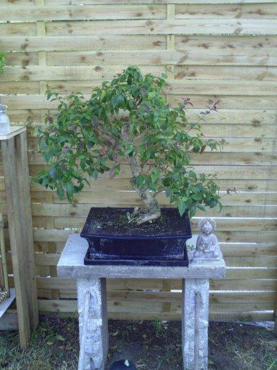grand bonsai
