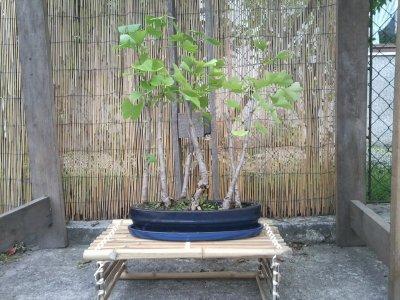 voila un nouveaux bonsai