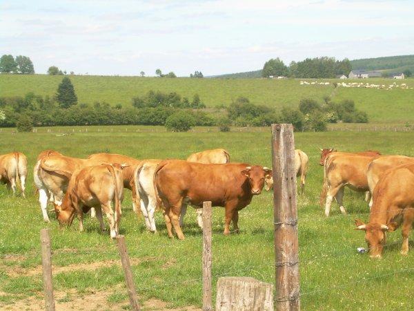 Dans notre ferme vous pourrez découvrir un élevage de vaches limousine