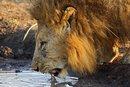 LION LACHETEAU