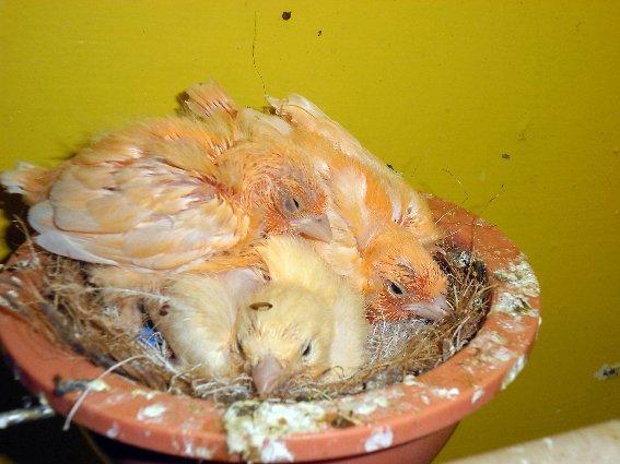 canaris au nid