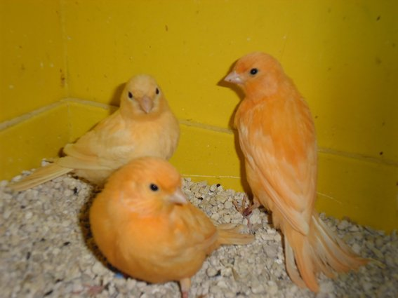 jeunes canaris 2012 sevrer