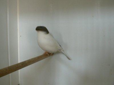 gloster corona  blanc