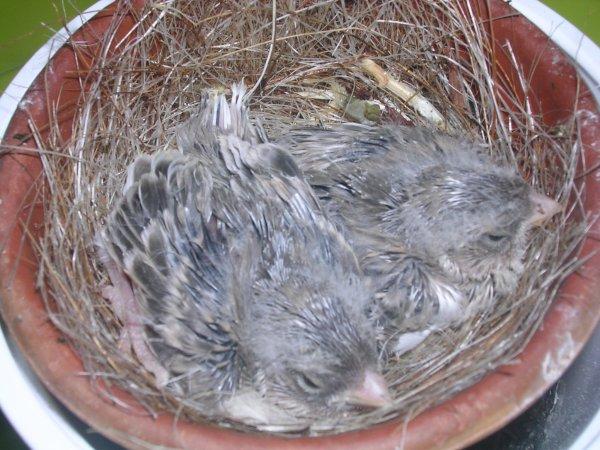 jeunes gloster agate blanc au nid
