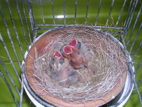 jeunes gloster  au nid