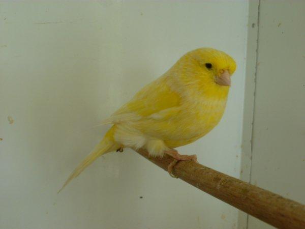 glosters satiné blanc jaune