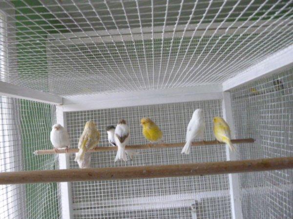quelques  glosters  jaune vert panaché blanc