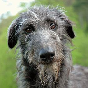 le Deerhound