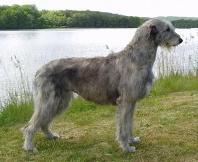 L'Irish Wolfhound - gaga-de-lévriers