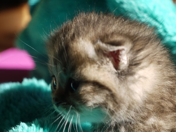 La petite brown torbie scottish fold