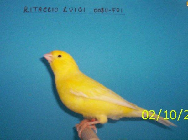GIALLO BRINATO