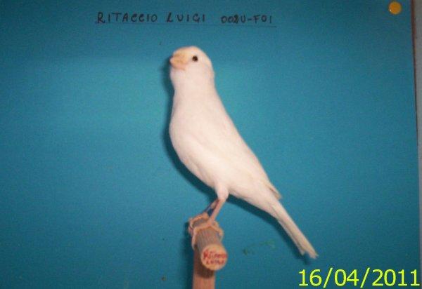 COVE 2011 ( GIOVANE BIANCO RECESSIVO )