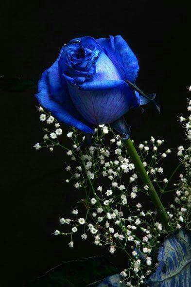 J'aime les roses bleue