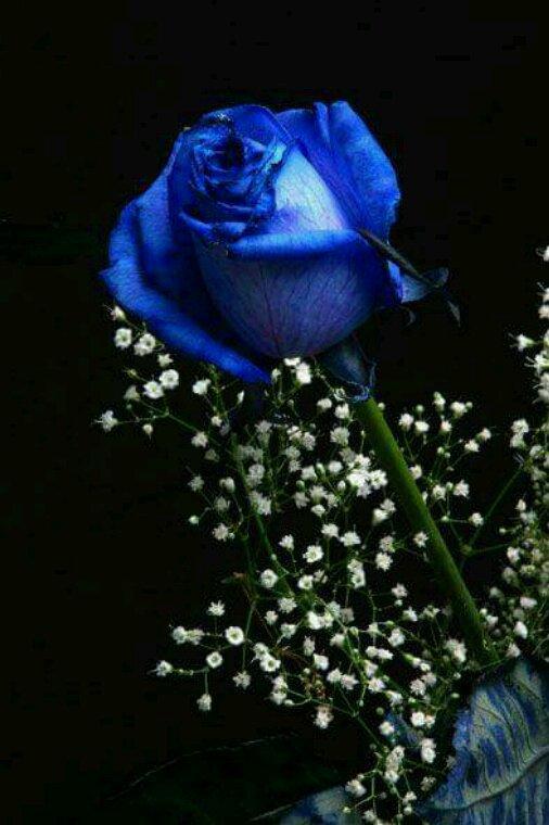 J'adore les roses bleue