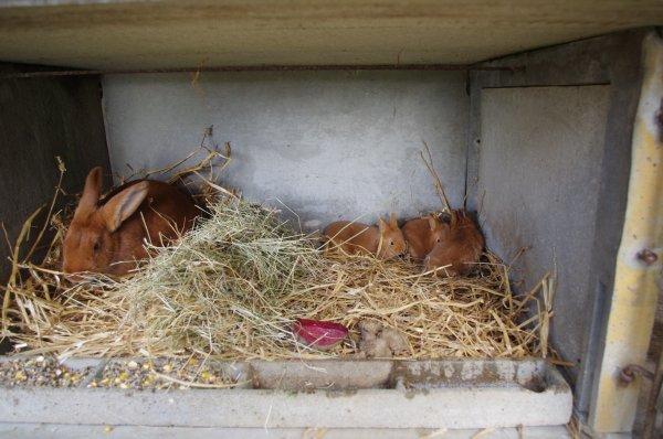Femelle fauve de bourgogne et ses premiers petits