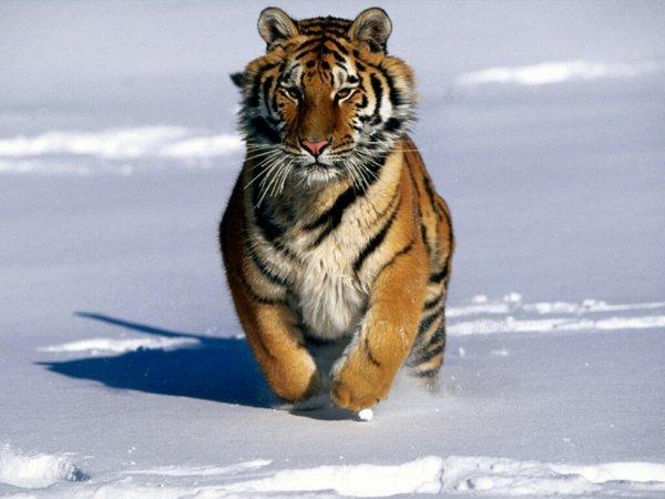Fabulous TIGRE DE SIBERIE(Tigris altaica) - Blog de Preservons-les-animaux EP76