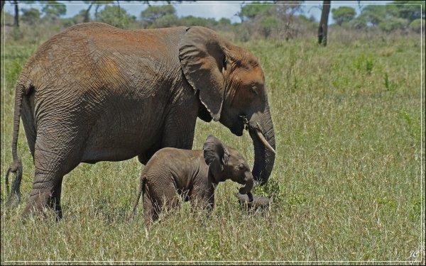 l'éléphant d'Afrique(Loxodonta africain)