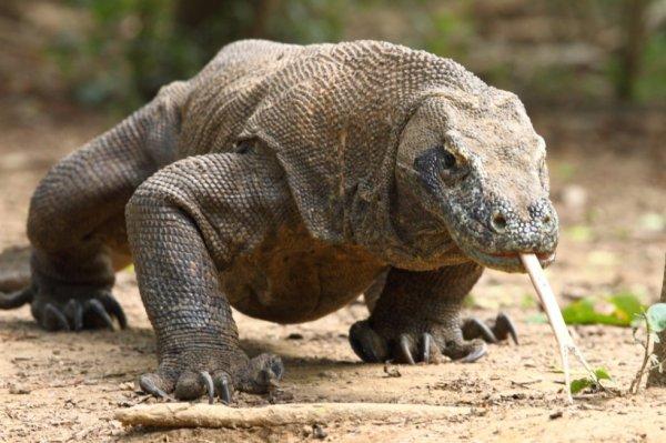 dragon de komodo(Varanus komodoensis)