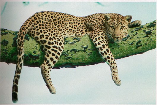 Léopard, ou phantère(Panthera pardus)