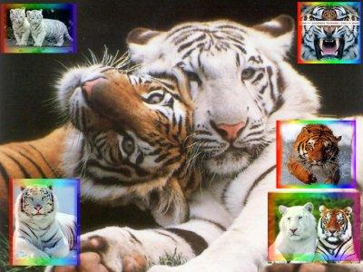 $) $) $)      Jddrrr Les Tigres     $) $) $)