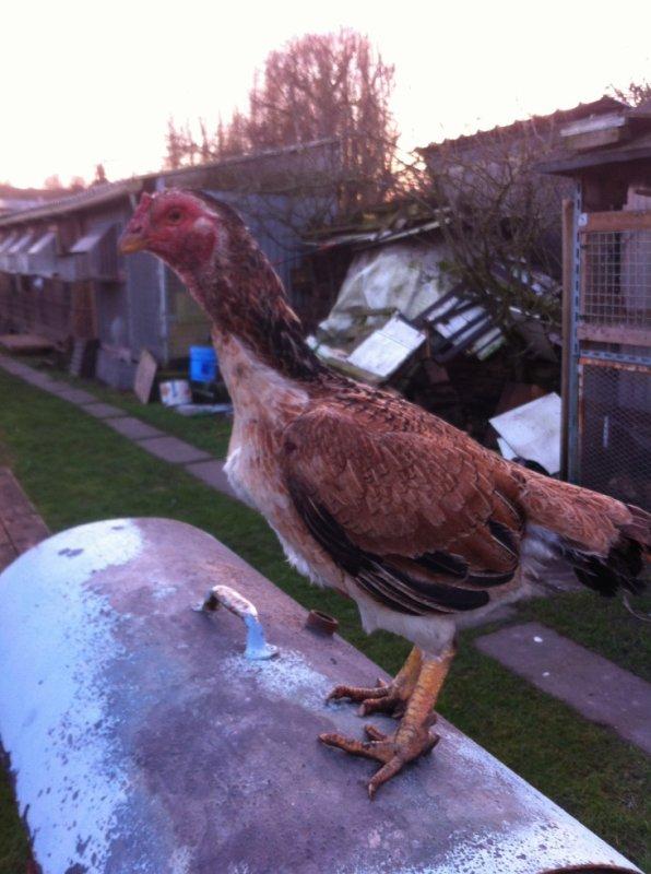 nouvelle poule