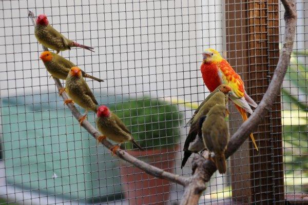 Exotiques. Ruficaudas,Papes de Nouméa, Forbes et bengalis rouges palette de couleurs.