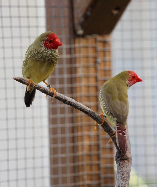 Males Ruficaudas masque rouge.