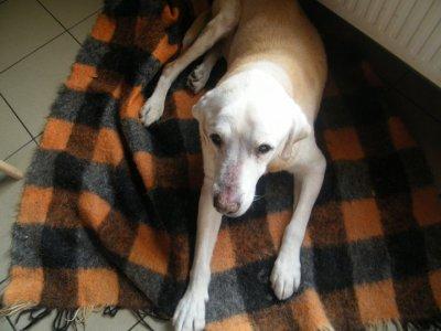 mon chien mon labrador