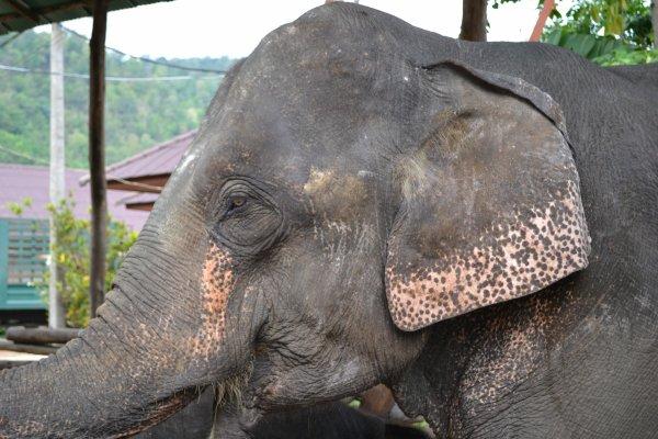 Tout beau l'éléphant avant que j'aille faire un tour sur son dos