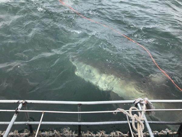Plongée en cage avec les grands requins blancs
