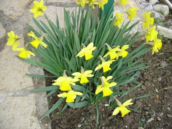 les jonquilles pointent leurs bouts du nez c'est bientôt le printemps