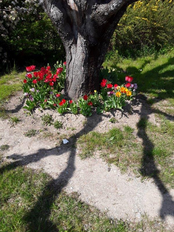 Les tulipes sont toutes fleuries