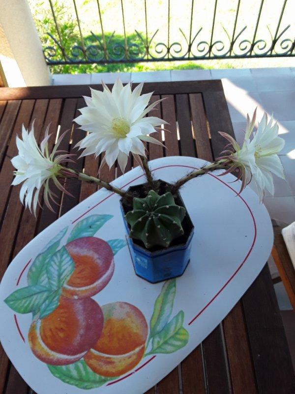 Mon cactus à 3 flleurs cette année