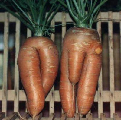 quel drole de carottes