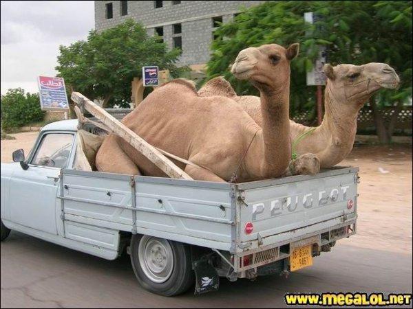 transport peujeot chameaux
