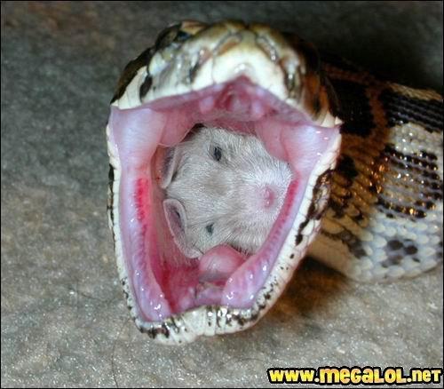 J'ai un chat une souris dans la gorge ! Un serpent peut gober un oeuf d'un trait, et le digérer plus tard. Mais s'il peut le faire avec un oeuf, il peut le faire avec une souris !