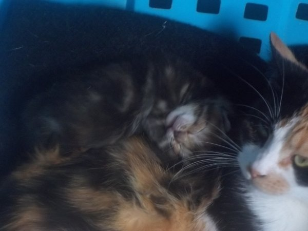 sa y et apres 10 jours nos chatons ouvre leurs yeux