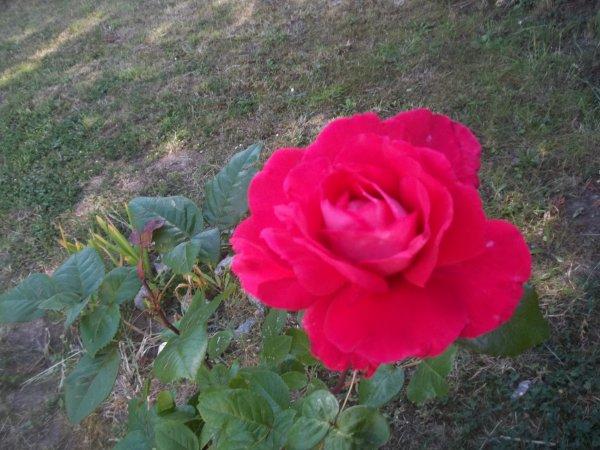 pour vous mes ami e's cette roses de mon jardin