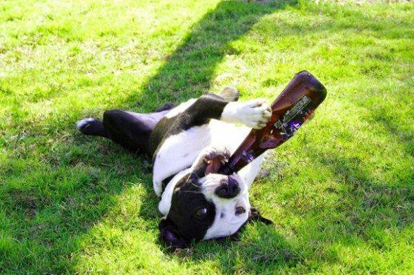 Des hommes alcooliques, on en trouve partout ! Mais des chiens, on en trouve beaucoup moins. Mais image-drole.eu a trouvé pour vous une photo assez spéciale d'un chien avec une bouteille de bière dans la gueule…