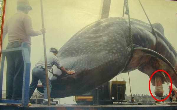On sait tous qu'une baleine bleue c'est énorme, mais on sait moins qu'elle possède un sexe en érection de plus de 2 mètres, pouvant atteindre 2,4 mètres soit 2 fois la taille d'un homme ! Saviez-vous qu'à chaque rapport sexuel, la baleine éjacule environ 1800 litres de sperme ?