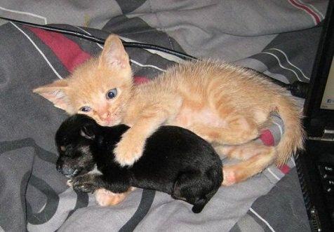 On connait tous la rivalité entre chien et chat : tout simplement ils ne peuvent pas se supporter. Et voici l'exception qui confirme la règle. Ce chat adore ce chien et il va même encore plus loin puisqu'il le protège et lui tient chaud !! Si c'est pas mignon ça