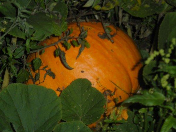 c et deja  hallowenn  ben non mais s pousse deja  dans mon jardin