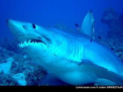le requin mako :)