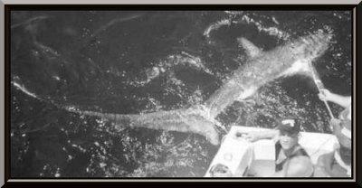 le requin appeller le renard des mers :)