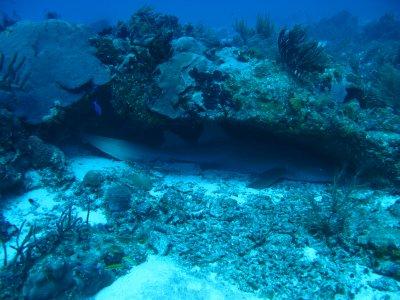 le requin nourrice