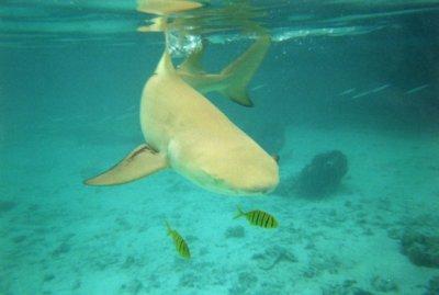 le requin citron